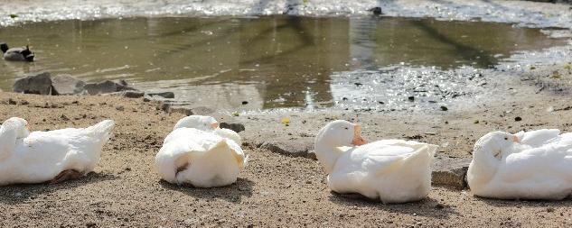 Duck-nap-cut_s